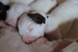 A-Wurf geboren am 02. Juni 2015